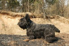 Scottish terrier Royalty Free Stock Photography