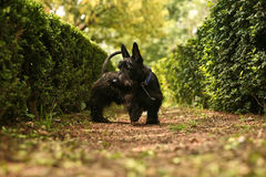Scottish terrier. Cute little black Scottish terrier walking outdoors Stock Photos