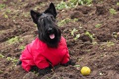 Scottish Terrier Stock Photos