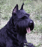 Scottish Terrier Royalty Free Stock Photos