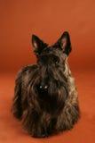 Scottish Terrier Stock Photo