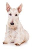 Scottish Terrier Stock Image