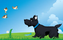 Scottish terrier. Dog walking and watching birds Stock Image