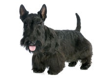 Scottish Terrier Stockbild