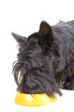 Scottish terrier Royalty Free Stock Image