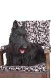Scottish terrier Stock Photography