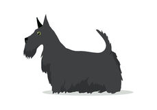 Scottish Terrier, Aberdeen Terrier, Scottie Breed. Of dog isolated on white. Skye Terrier. Small, compact, short-legged, sturdily-built. Series of puppies icon Stock Images