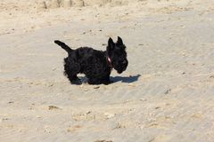 Scottish Terrier. The Scottish Terrier also known as the Aberdeen Terrier, popularly called the Scottie, is a breed of dog Stock Image