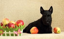 Scottish terrier with apple Stock Images