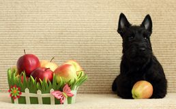 Scottish terrier with apple Stock Image