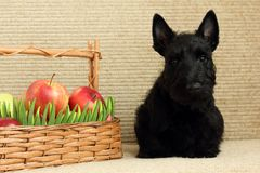 Scottish terrier with apple. See my other works in portfolio Royalty Free Stock Photography