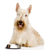 Scottish Terrier begging for food. looking at camera. isolated o Stock Image