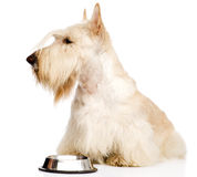 Scottish Terrier begging for food.  on white background Stock Image