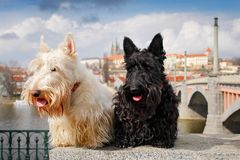 Scottish terrier, Black and white wheaten dog, pair of beautiful dogs sitting on bridge, Prague castle in the background. Travel. Ling with dogs, Czech republic royalty free stock images