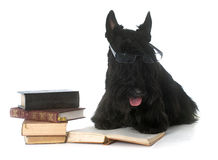 Scottish terrier and book Royalty Free Stock Photos