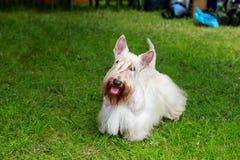 Scottish Terrier breed dog stock photo