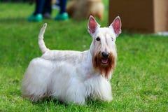 Scottish Terrier breed dog stock image