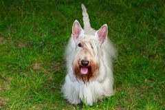 Scottish Terrier breed dog stock photography