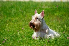 Scottish Terrier breed dog royalty free stock images