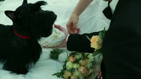 Scottish Terrier brought the wedding rings in a basket for the bride and groom stock video footage
