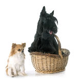 Scottish terrier and chihuahua Stock Photography