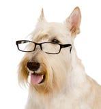 Scottish Terrier com vidros Isolado no fundo branco Imagens de Stock