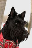 Scottish terrier dog Royalty Free Stock Image