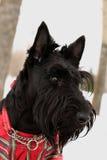 Scottish terrier dog. Portrait of the scottish terrier dog in overalls in the scottish cell royalty free stock image