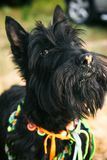 Scottish terrier dog looking at camera close up royalty free stock images