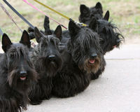 Scottish terrier family. On the walk Stock Photo