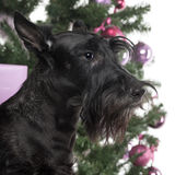 Scottish Terrier in front of Christmas decorations Royalty Free Stock Images