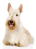 Scottish Terrier in front.  isolated on white background Royalty Free Stock Photos