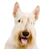 Scottish Terrier in front view. isolated on white background Royalty Free Stock Images