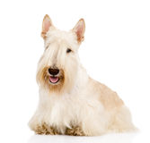 Scottish Terrier in front view.  on white background Stock Images