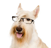 Scottish Terrier with glasses. isolated on white background Stock Photo