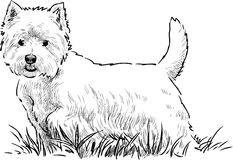 Scottish terrier in the grass Stock Image
