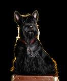 Scottish terrier isolated on black background Royalty Free Stock Image