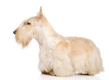 Scottish Terrier isolated on white.  royalty free stock photo
