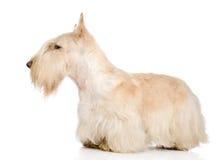 Scottish Terrier isolated on white Royalty Free Stock Photo