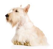 Scottish Terrier lokalisiert auf weißem Hintergrund Stockfoto