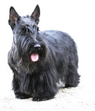 Scottish Terrier over white Royalty Free Stock Photos