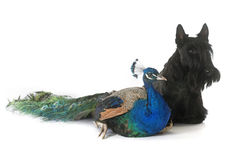 Scottish terrier and peacock royalty free stock photos