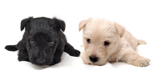 Scottish Terrier puppies Stock Images