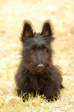 Scottish Terrier puppy Royalty Free Stock Photography