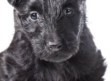 Scottish Terrier puppy. Head portrait isolated on white background Royalty Free Stock Images