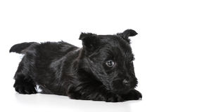 Scottish Terrier puppy Stock Images