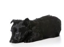 Scottish Terrier puppy Stock Photos