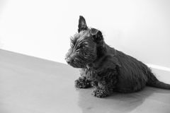 A Scottish Terrier puppy sitting down. A young Scottish Terrier puppy sitting down Stock Photo