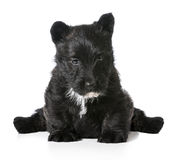 Scottish terrier puppy sitting Stock Photography