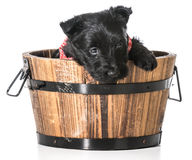 Scottish Terrier puppy Royalty Free Stock Photos